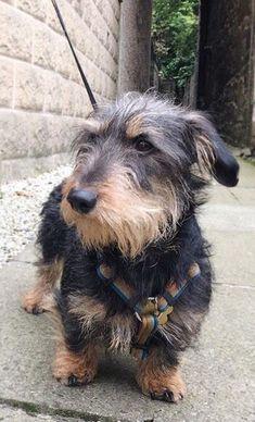Love the scruffy Wirehaired look ! Dachshund Puppies, Dachshund Love, Cute Puppies, Cute Dogs, Daschund, Dogs And Puppies, Doggies, Wire Haired Dachshund, Miniature Dachshunds