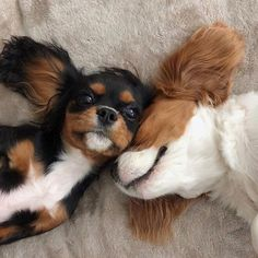 Obtain terrific recommendations on They are actually on call for you on our web site. Cavalier King Charles Dog, King Charles Spaniel, Cavalier King Spaniel, Cute Cats And Dogs, Cute Dogs And Puppies, Doggies, Cute Baby Animals, Animals And Pets, Spaniel Puppies