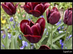 Red Tulips #RedFlowers #freewallpapers