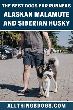 Not surprisingly, being historic workers, both the Alaskan Malamute and Siberian Husky are brilliant running buddies. Malamutes were freighters and Huskies were racers. Read on to find out what makes them great runners. Alaskan Dog, Alaskan Malamute, Large Dog Breeds, Large Dogs, Husky Breeds, Reactive Dog, Running Buddies, Leash Training, Dog Runs
