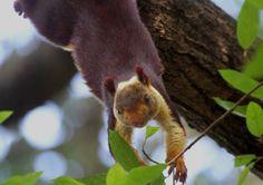 Malabar Giant Squirrel by Utkarsh Mahajan on 500px