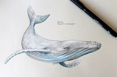 humpback whale scientific drawing