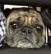 Silly Pug! She got her head stuck in a headrest!