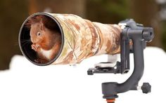 Red squirrel is ready for his close up. Picture: Giedrius Stakauskas /Solent News & Photo Agency via Telegraph :)