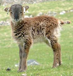 Soay lamb, one of the most primitive breeds of sheep. Known origins: the St. Kilda Archipelago, off of the western coast of Scotland. They shed their coats, and so are plucked, not sheared