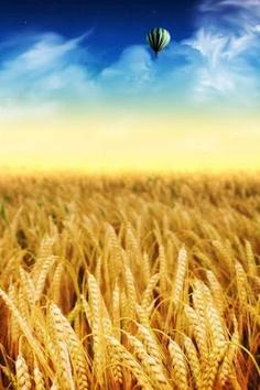 blue sky over a wheat field