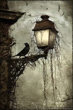 inspiration  Raven on vine covered street lamp.