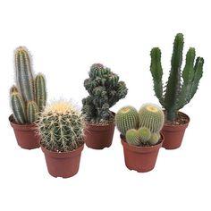 Kaktus Topf-Ø ca. 10,5 cm im OBI Online-Shop