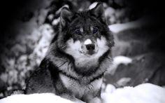 wilk zimą