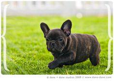 frenchie puppy #Frenchie #BulldogFránces #DogLovers