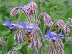 Best Flowers to Attract Bees |  borage attracts bees