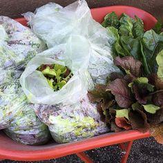 via @rockcreekcorner: Today's harvest: lettuces rainbow chard arugula and mizuna. This should carry us through our specials this weekend. Hooray for spring goodies! #pdx #pdxeats #pdxdrinks #Portland #Oregon #backyard #garden #drinks #food #FarmtoFork #FarmtoTable #locavore #eatlocal #Bethany #RockCreek #Beaverton #RockCreekCorner #Hillsboro #Tanasbourne #LunchSpecials #DrinkSpecials #Patio #growlers #Farm #SlowFood #myfab5 #craftbeer #brunch #pdxbrunch #hillsboronow