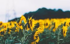 """Sunflowers 🌻 no Twitter: """"I need to go to a sunflower field asap… """" ."""