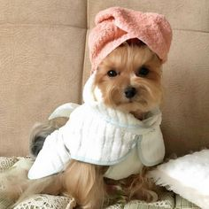 How often are you bathing your Yorkie? 🛁 #yorkshire terrier #allergies #acfilters4less