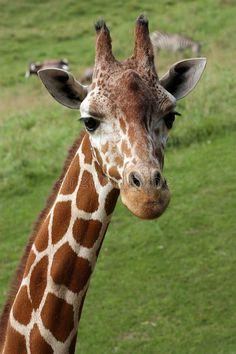 Photo about A giraffe s portrait, with wildlife friends in the background. Image of giraffe, camel, mammal - 11166507 Giraffe Drawing, Giraffe Painting, Giraffe Art, Cute Giraffe, Unique Animals, Nature Animals, Animals Beautiful, Baby Animals, Cute Animals