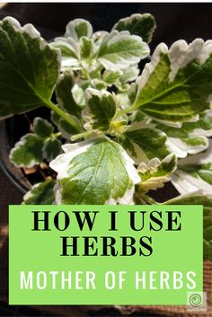 """How I use herbs - Mother of herbs -- I was given this herb at our monthly local produce share.  It had the label """"tulsi?"""".  I didn't know what tulsi was at the time, but when I googled it I found that this herb was definitely not tulsi (AKA holy basil).  I was pretty keen to identify it, as I'd already..."""