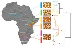 Approximate geographic ranges, fur patterns, and phylogenetic relationships between some giraffe subspecies based on mitochondrial DNA sequences. - Wikipedia, the free encyclopedia