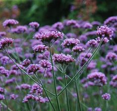 Buy Verbena Bonariensis Ground Cover online from Hopes Grove Nurseries. It is a prolific and easy to grow herbaceous perennial - nationwide delivery. Cottage Garden Plants, Garden Beds, Boarder Plants, Garden Bed Layout, Herbaceous Perennials, Sun Perennials, Garden Catalogs, Cut Flower Garden, Ground Cover Plants
