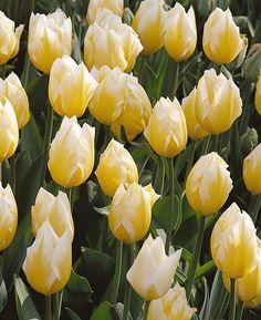 "Emperor Tulip 'Sweetheart'. Tulipa. 16-18"" tall. Blooms in Mid-April."