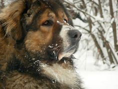 These Russian Bear Dog are the best protective dogs that one can have. These are the riskiest dogs to keep at the house but are the devoted guardian. Big Dogs, Cute Dogs, Dogs And Puppies, Doggies, Massive Dogs, Giant Dogs, Awesome Dogs, Unique Dog Breeds, Rare Dog Breeds