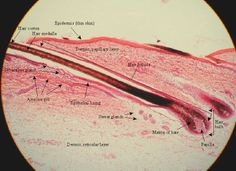 Hair tissue slides labeled | integumentary system david b fankhauser ph d professor of biology and ...