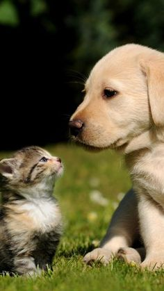 HD iPhone wallpaper Kitty 🐱 and puppy 🐶 Puppies And Kitties, Cute Puppies, Cats And Kittens, Pet Dogs, Dog Cat, Pet Pet, Dog Wallpaper, Animal Wallpaper, Iphone Wallpaper