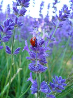 Ladybugs on lavender