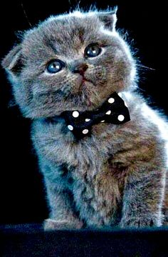 Labeled a Blue Scottish Fold kitten.wearing a bowtie. Kittens And Puppies, Cute Cats And Dogs, Cute Cats And Kittens, I Love Cats, Kittens Cutest, Bulldog Puppies, Beautiful Cats, Animals Beautiful, Pretty Cats
