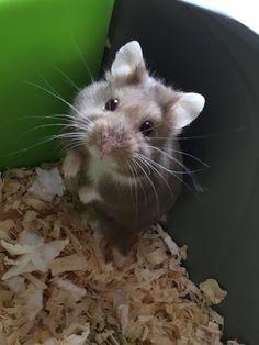 dwarf hamster spotty black & white Funny hamsters