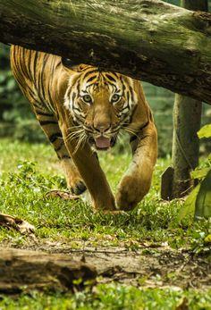 #tiger of great intelligence