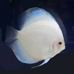 Diskus Aquarium, Cichlid Aquarium, Aquarium Terrarium, Colorful Fish, Tropical Fish, Acara Disco, South American Cichlids, Oscar Fish, Discus Fish