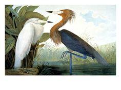 John James Audubon Posters at AllPosters.com