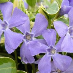 Buy Vinca minor Argenteovariegata 'Lesser Periwinkle' | Coblands.co.uk