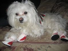Caesar, the adorable Maltese wearing red fur dog boots