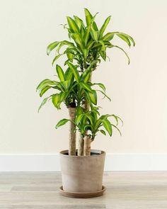 Indoor Tree Plants, Best Indoor Trees, Indoor Tropical Plants, Indoor Palms, Small Plants, Trees To Plant, Hanging Plants, Potted Plants, Landscaping