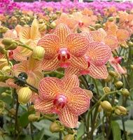 Orchid flowers - Phalaenopsis orchids - Phalaenopsis Brother Girl. Phal orchids' native habitats are in the Philippines and Australia as well as the Himalayas. Obviously this beauty is extremely adaptable!!