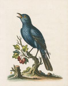 The Solitary Sparrow from Birds Prints of Blue Jay, Peacock, Pheasant, Bird Paradise, Toucans, Grosbeak