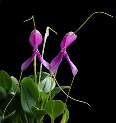 Masdevallia setacea by thomas_orchids, via Flickr