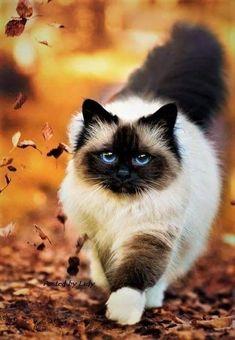 #ragdollcatshorthair