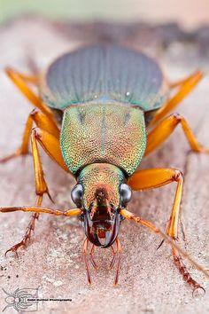 Vivid Metallic Ground Beetle - Chlaenius aestivus <3