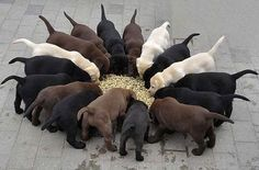 A rainbow of labs- I want all of them.......and a bigger house 'cause I'll need it :) Mini Labrador Retriever, Chocolate Labrador Puppies, Labrador Mix, Chocolate Labs, Black Labrador, Cute Lab Puppies, Buy Puppies, Dogs And Puppies, Group Dinner