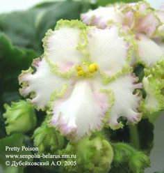 African Violet Flowers | African violet Pretty Poison