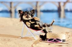 Have a happy and healthy fun summer with your Chihuahua. But, keep in mind these potential summer hazards and how to keep your Chi safe! The post How to Keep Your Chihuahua Healthy In The Summer appeared first on ChiChis And Me. Chihuahua Facts, Chihuahuas, Healthy, Happy, Summer, Fun, Summer Time, Chihuahua Dogs, Chihuahua