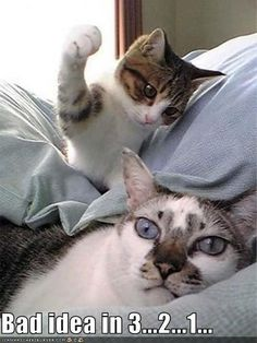 Jr takes up face bongos cat hug, kitty cats, kittens, funny animal memes Cute Kittens, Silly Cats, Cats And Kittens, Ragdoll Kittens, Tabby Cats, Bengal Cats, Funny Animal Pictures, Cute Funny Animals, Funny Cute