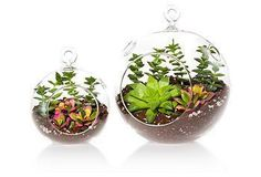 This kit includes everything you need to grow your own succulent terrariums, including the glass vessels.