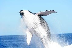 Yesterday was Happy Hump(back) Day! http://www.conservation.org/what/pages/oceans.aspx Hooray, whales! Even though today is Thursday...