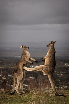 These Stunning Photos Prove Boxing Kangaroos Are Actually A Thing. Be very careful of the male he can but you with his feet like this. Animals Of The World, Animals And Pets, Baby Animals, Funny Animals, Cute Animals, Strange Animals, Cute Creatures, Beautiful Creatures, Animals Beautiful