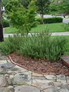 I like Rosemary, but maybe attracts too many bees ???