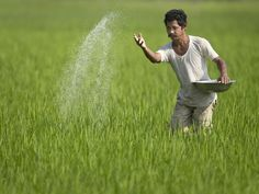 An Indian farmer sprinkles fertilizer in his paddy field at Dhekiabari…