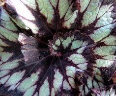 begonia spiral by zen, via Flickr